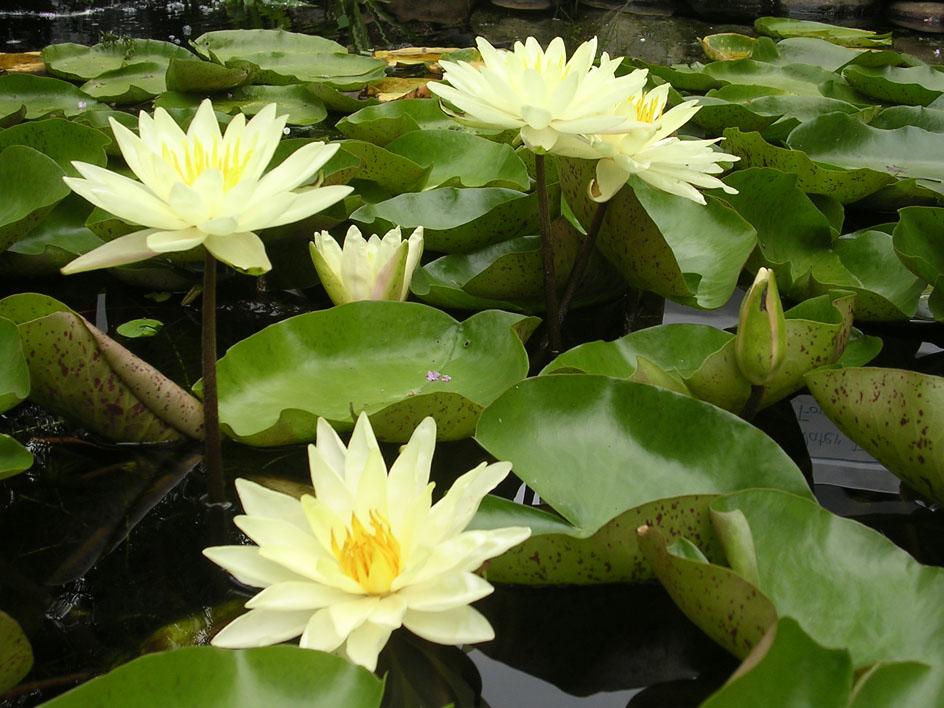 Texas Dawn water lilies