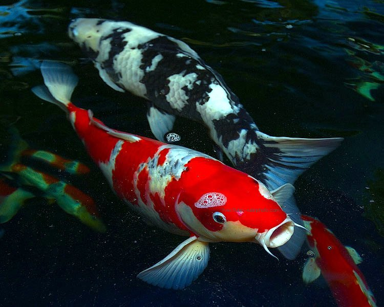 How important are fish in a water garden?