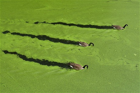 Pea soup in my pond (Green algae)?